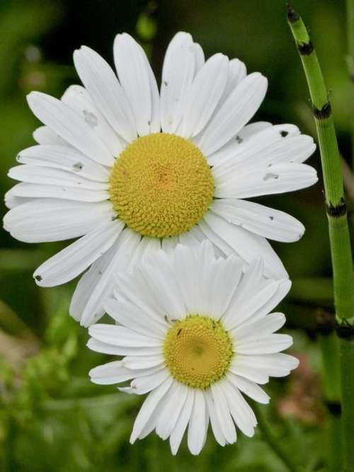Daisy Wild Flower Daisies Summer Plant Nature