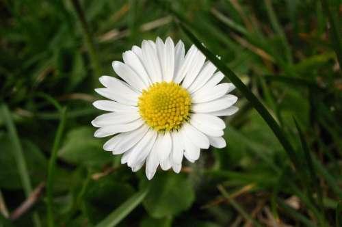 Daisy Margaret Flower Nature Plant Spring Blossom