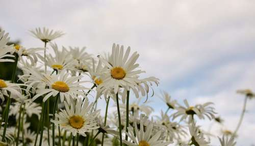Daisy Flower Spring Marguerite Plant Bloom