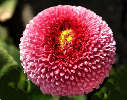 Daisy Flower Pink Nature Plant Spring Blossom