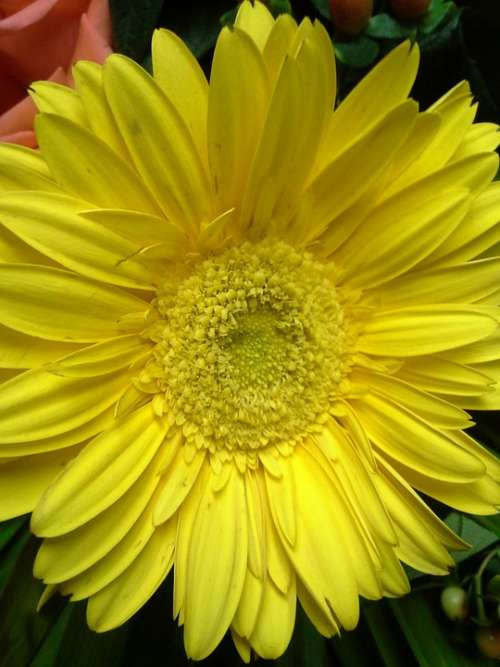 Daisy Plant Spring Flora Nature Yellow