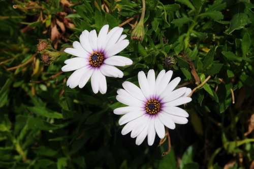 Daisy Flower Nature Green Meadow Plant