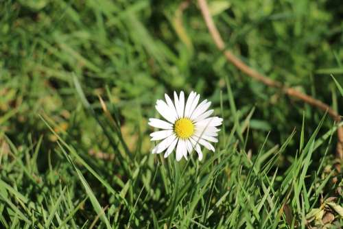 Daisy Flowers Nature Flower Spring White Green