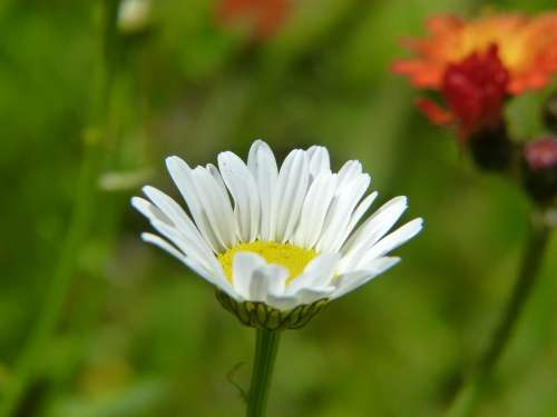 Daisy Flower Marguerite Bloom Flora Detail Nature