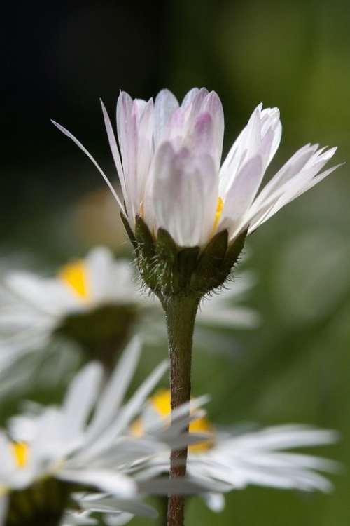 Daisy Blossom Bellis Philosophy Tausendschön