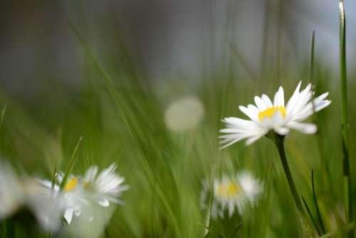 Daisy Flower Nature Plant Blossom Bloom Flora
