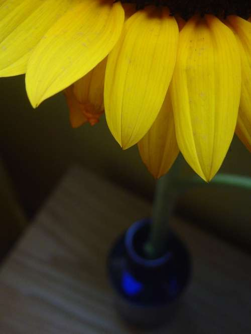 Daisy Vase Blue Petals Flower Yellow