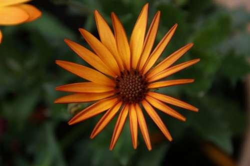 Daisy African Daisy Flower Floral Spring