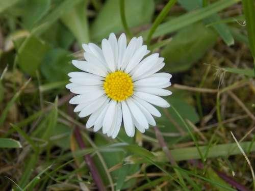 Daisy Flower White Nature Spring Wild Flower