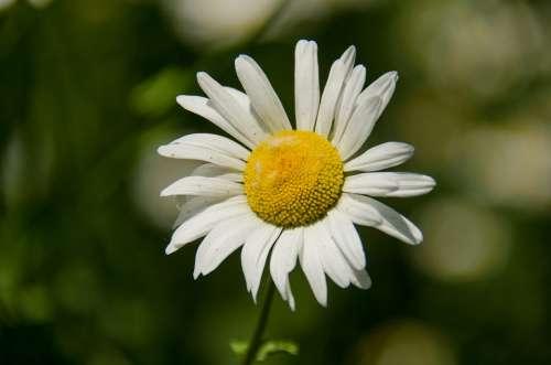Daisy Flower White Summer Flowers Bloom Closeup