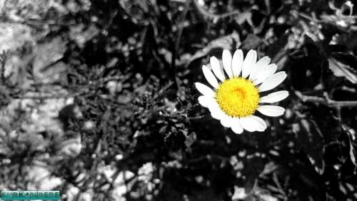 Daisy Flower Flowers