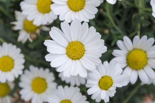 Daisy Flower Meadow Green Nature Summer