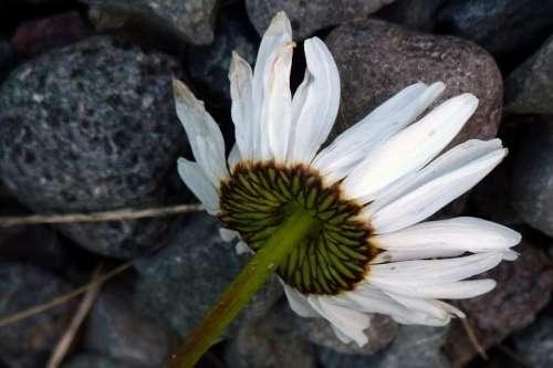 Daisy Flower Plant Nature Wild Flower Wild Plants