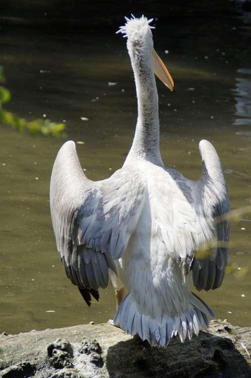 Dalmatian Pelican Pelikan Move Plumage Water Bird