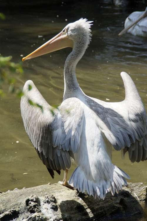 Dalmatian Pelican Pelikan Move Plumage Water Bird