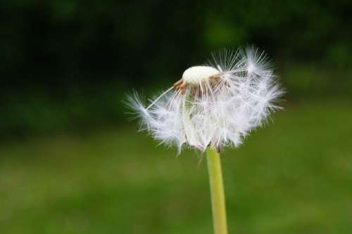 Dandelion Flower Flowers