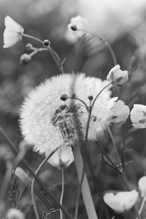 Dandelion Flower Meadow Flowers Spring Flora