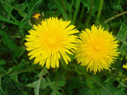 Dandelion Flowers Blossom Bloom Summer Plant