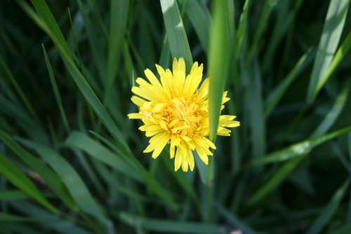 Dandelion Weed Nature Summer Flower Yellow Wild