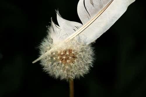 Dandelion Flower Nature Close Up Seeds Plant