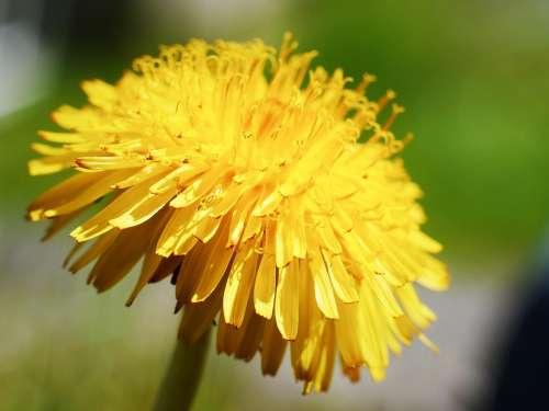 Dandelion Flora Garden Weed Nature Yellow Plant