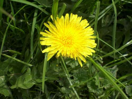 Dandelion Flower Roadside Meadow Yellow Nature