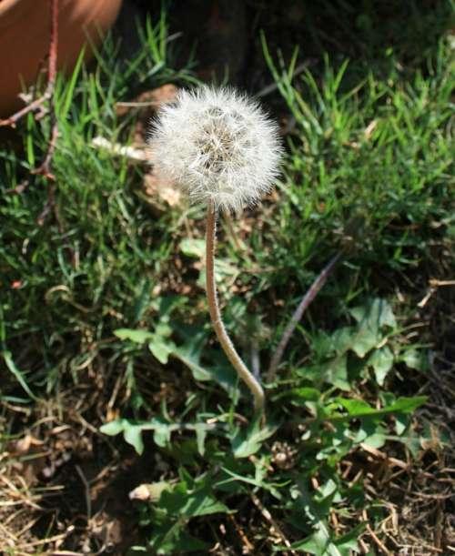 Dandelion Fluff Seed White Light Delicate Garden