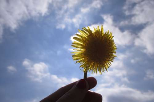 Dandelion Flower Lighting The Sun