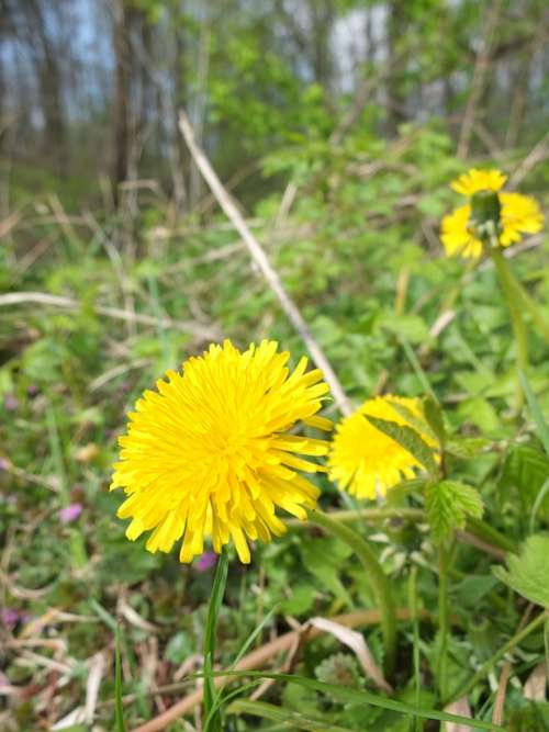 Dandelion Forest Flower Plant Yellow Nature