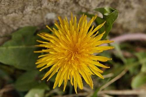 Dandelion Flower Roadside Pointed Flower Yellow