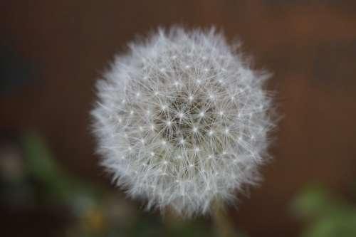 Dandelion Summer Garden Close Up White Seeds Soft