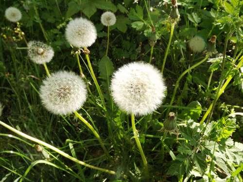 Dandelion Taracacum Nature