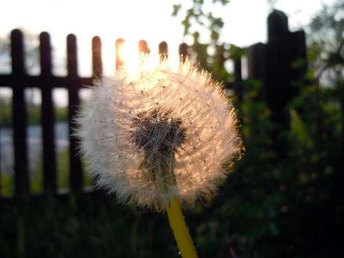Dandelion Backlighting
