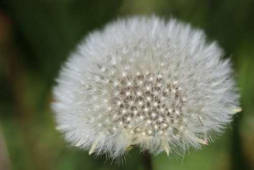 Dandelion Boll Faded Wild Plant Close Up