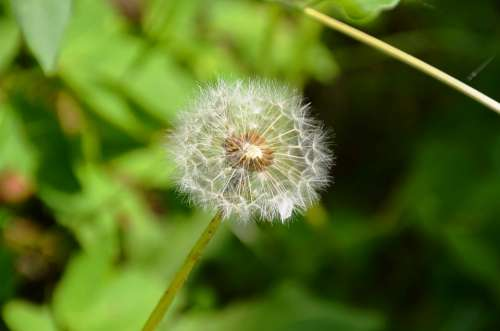 Dandelion Seeds Multiplication Flower Nature