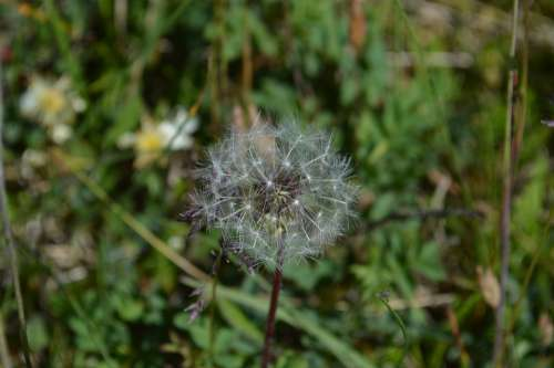 Dandelion Lint Seeds Summer Bol Scoop Nature