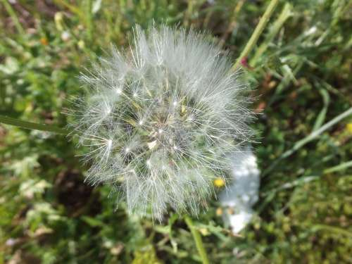 Dandelion Plant Light White Bow