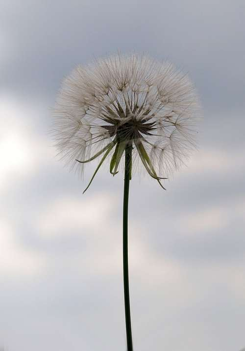 Dandelion Seeds Nature Weed Blow Detail Fluffy