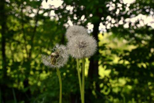 Dandelion Flower Nature Plant Grass Garden