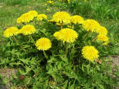 Dandelion Spring Plant Nature Flower May Greens