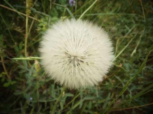 Dandelion Wild Flower Nature Spring Wild Flora