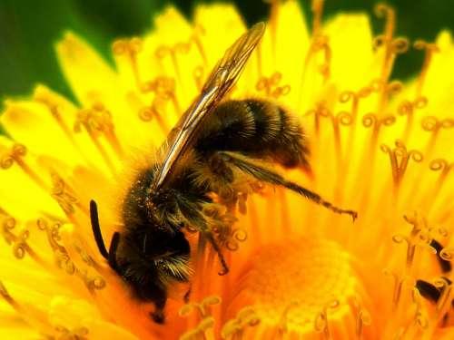 Dandelion Bee Flower Nature Spring Macro Garden