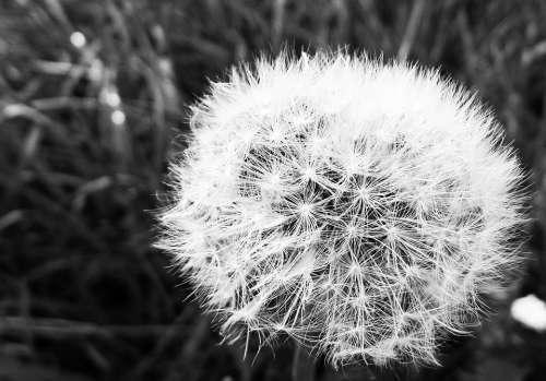 Dandelion Faded Fluff