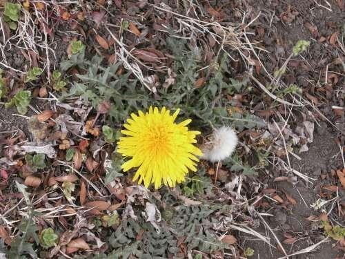 Dandelion Flowers Yellow Plant On The Roadside