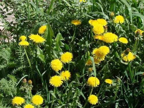 Dandelions Yellow Flowers Sun Summer Grass Green
