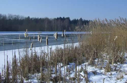 Danube Winter Snow Ice Cattail Reed Reeds
