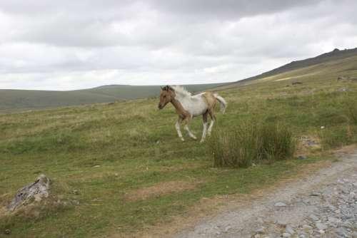 Dartmoor Pony Spotted Foal Wild Horse Baby Horse