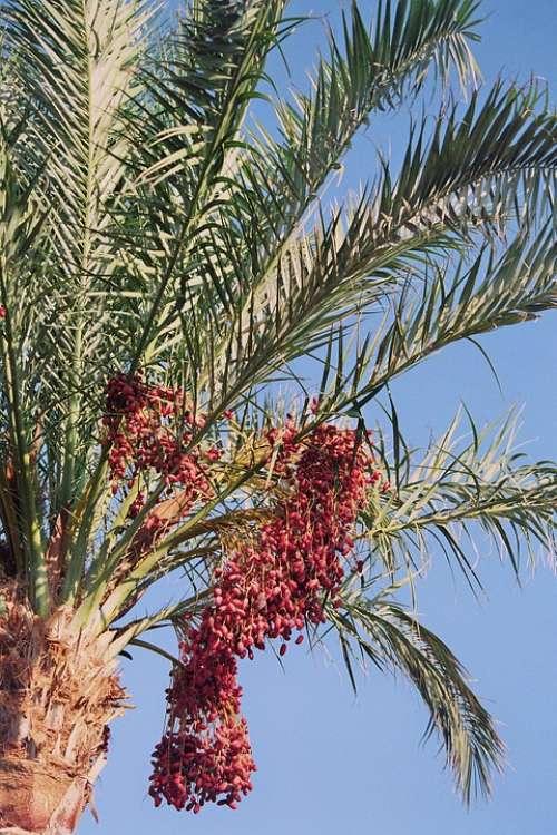 Date Palm Phoenix Palm Genus Leaflets Dates Fruits