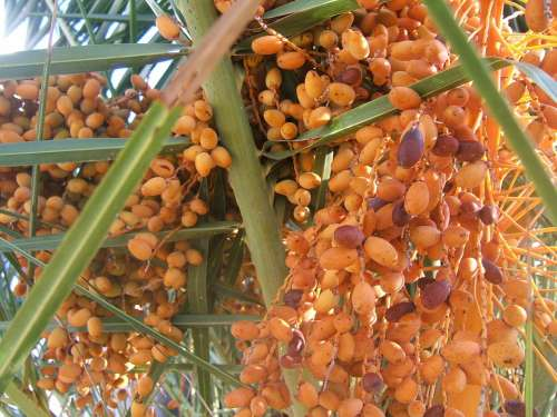Dates Palm Tree Leaves Seeds Fruit Green Plant