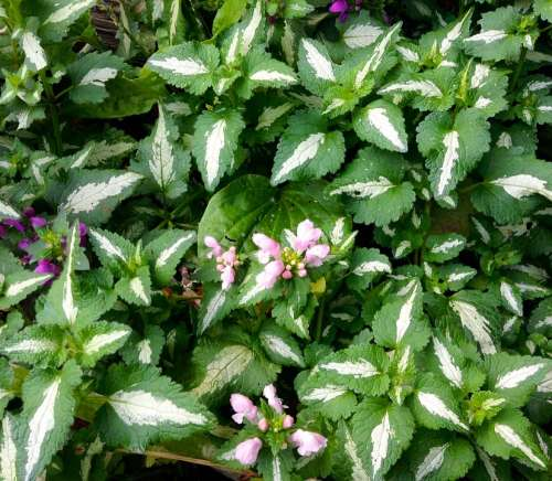 Dead-Nettle Ground Cover Perennial Green